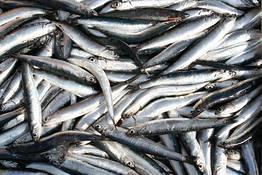 Redazione Positano.com - Le giornate del pesce azzurro